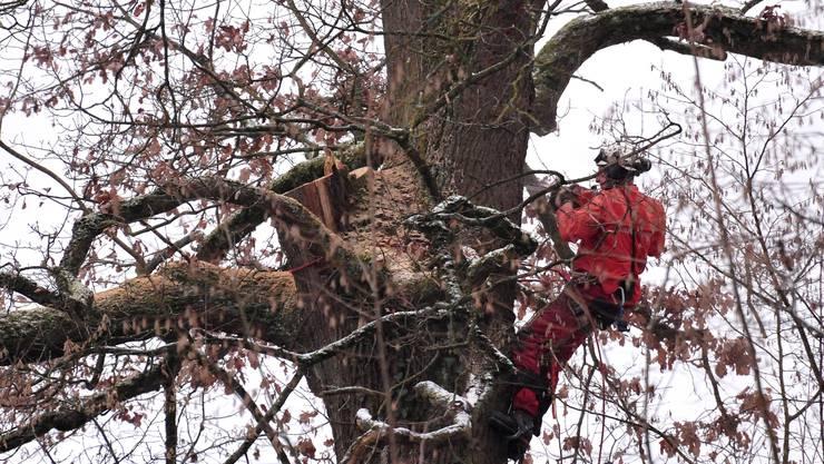 Gekonnt sägt der Holzprofi auf dem Baum den Stamm durch.