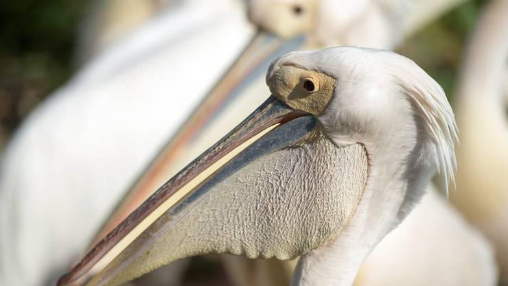 Ein Rosapelikan (hier aus dem Zoo Basel) verzückte Ornithologen am Neuenburgersee. Möglicherweise handelt es sich um einen Gefangenschafts-Flüchtling, der aus den Niederlanden eingeflogen ist. (Archiv)