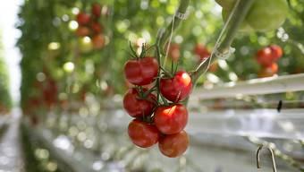 Tomaten: Ein Teil der gehackten, die bei Lidl verkauft wurden, könnten Plastikteile enthalten und dürfen nicht gegessen werden. (Symbolbild)