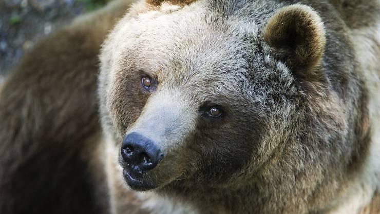 In der Slowakei ist ein Braunbär durch eine Stadt gestreift und hat die Bewohner aufgeschreckt. (Symbolbild)