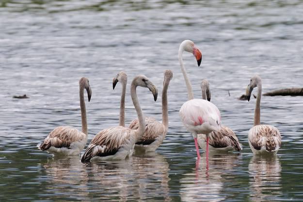 Die Gruppe besteht aus einem erwachsenen Tier und acht Jungvögeln