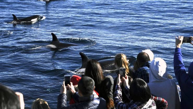 Die einzige nachhaltige Jagd auf Wale: Whale-Watching an der Küste Kaliforniens.