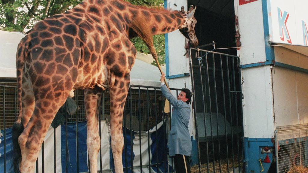 Tierschützer fordern Verbot von Wildtieren in Zirkussen