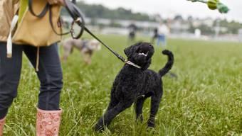 Der Regierungsrat wollte die Hundekurs-Pflicht auf alle Hunderassen ausdehnen. Der Kantonsrat will sie nun ganz abschaffen. (Themenbild)