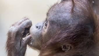 Junge Orang-Utans lernen komplexe Verhaltensweisen, indem sie ihre Mütter genau beobachten. (Archivbild)