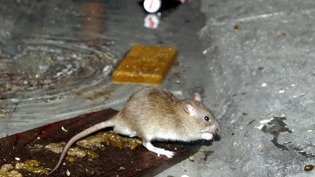 Ein indisches Spital hat mit Ratten zu  kämpfen (Symbolbild)