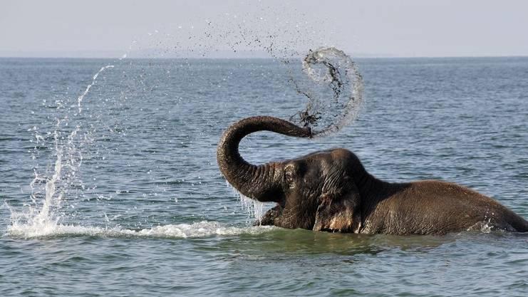 Nicht immer so brav. Elefantenkuh Sabu beim Bad, hier bereits früher einmal im Genfersee. (Archivbild)