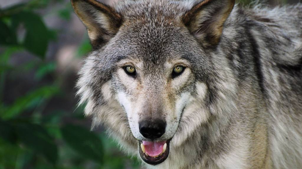 Zu viele Wölfe: Die Bündner rufen den Bund zu Hilfe