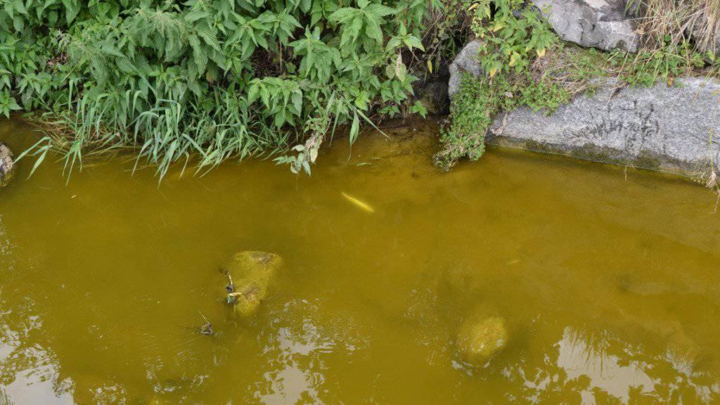 Lösungsmittelgestank und grünliche Farbe: Im Bielbach im luzernischen Ruswil sind tausende Fische verendet. Woher der Schmutz stammt, ist unklar.