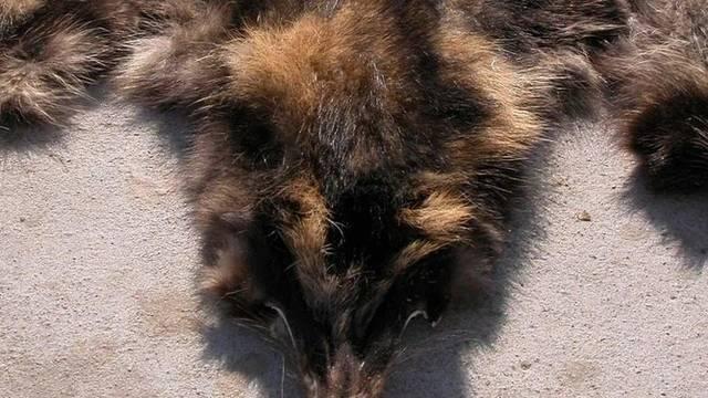 Fell eines Marderhundes (Archiv)