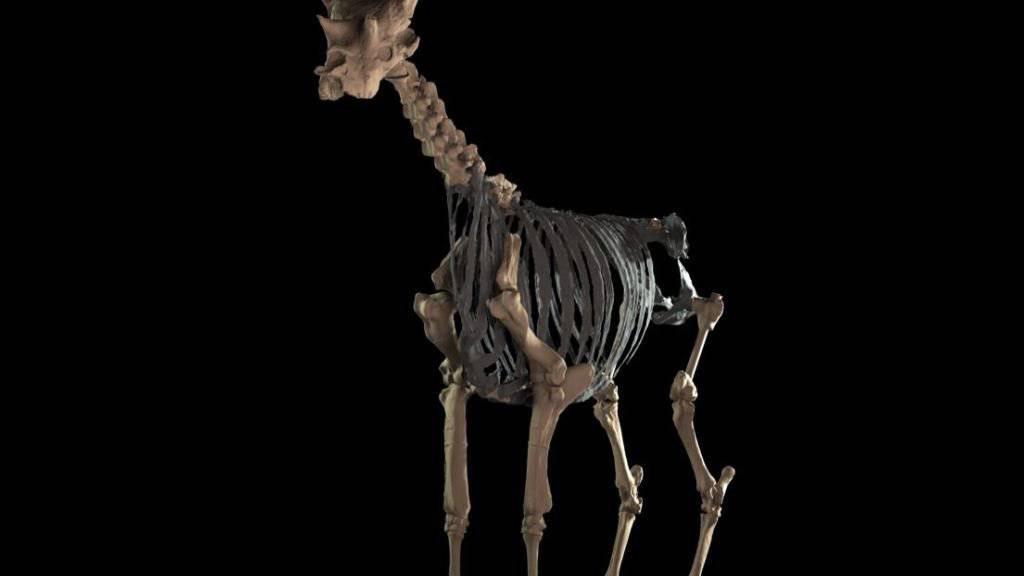 Die 3D-Rekonstruktion des Skeletts von Sivatherium giganteum beruht auf 1000 Fotos von Fossilien.