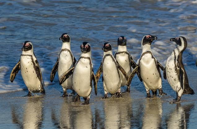 Die Frack-Träger leben nicht nur in der Antarktis, sondern auch in Südafrika.