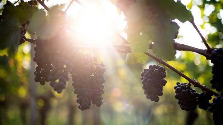 Pinot-noir-Trauben in Maienfeld GR waren letztes Jahr drei Wochen früher reif als üblich.