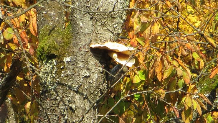 Ein Pilz, sogar essbar