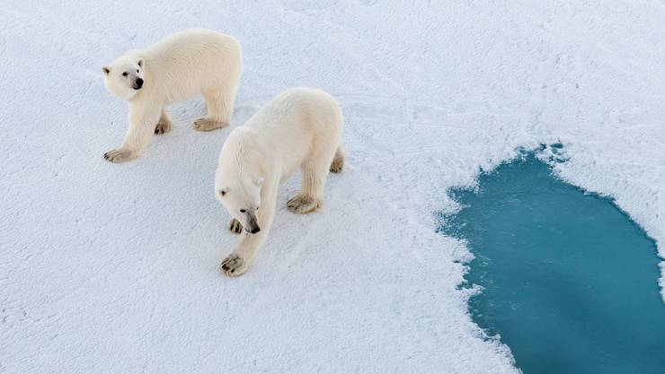 Sie sind die grosse Unbekannte: Wie werden die Eisbären auf die Forscher reagieren?