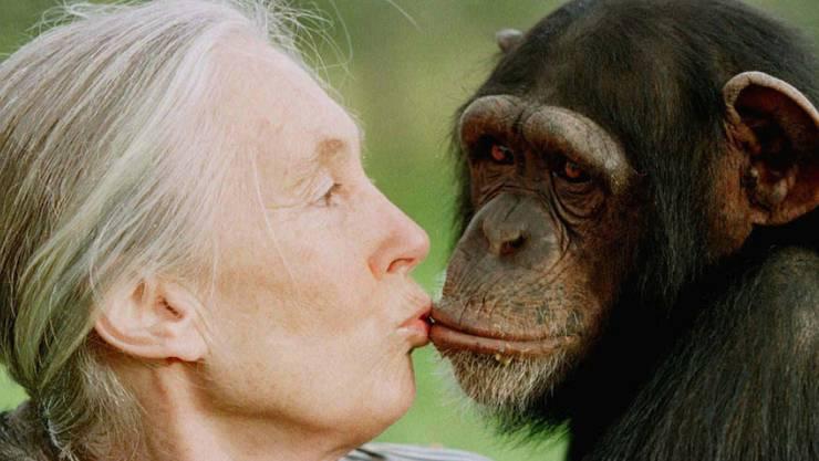 In der Evolution sind die Gehirne von Menschen und Menschenaffen unterschiedliche Wege gegangen. Was dahinter steckt, haben Forschende untersucht. (Im Bild: Jane Goodall mit weiblichem Schimpansen, 1997.)