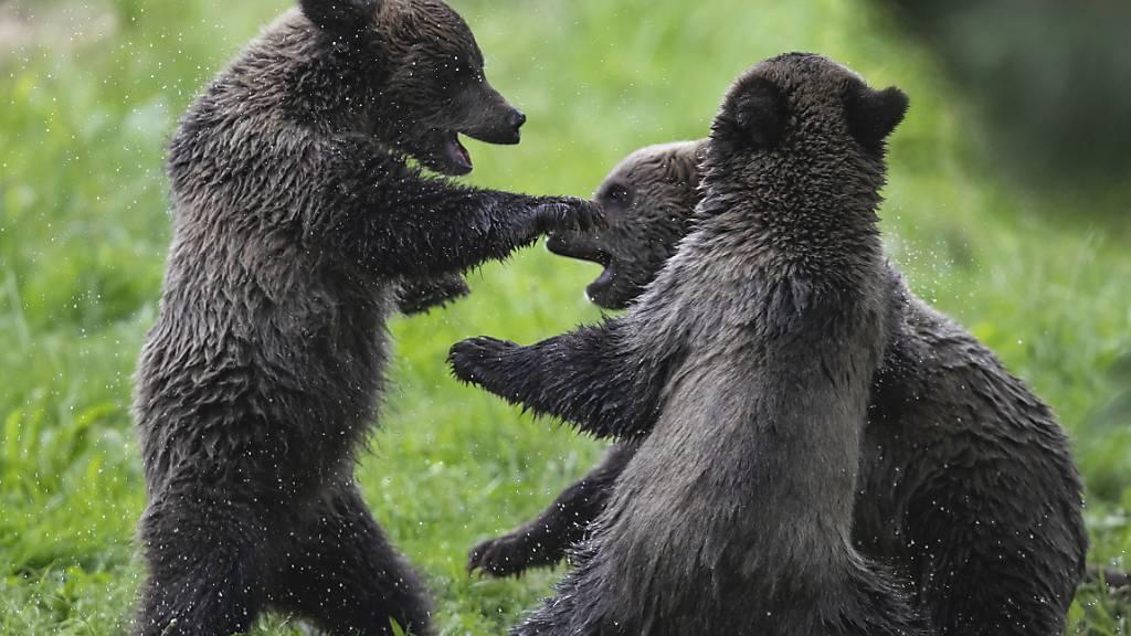 Grizzly-Bär-Junge sind putzig, aber der Schutzinstinkt ihrer riesigen Mütter kann Menschen, die ihnen zu nahe kommen, das Leben kosten.