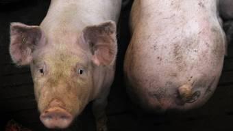 Viele Schweine dürfen in der Schweiz den Stall während ihres ganzen Lebens nie verlassen. (Symbolbild)