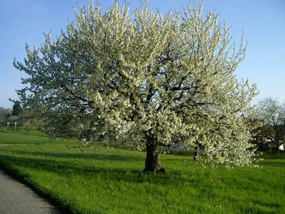 Blühende Kirschbäume oberhalb von Kindhausen (Leserbild von Urs Huegli)