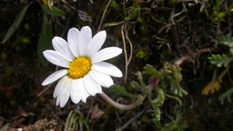 Sind wenig Nährstoffe verfügbar, ist die Alpenmargerite im Vorteil. Mit dem Klimawandel verändert sich die Flora der Alpen, wobei Böden eine zentrale, aber kaum erforschte Rolle spielen.
