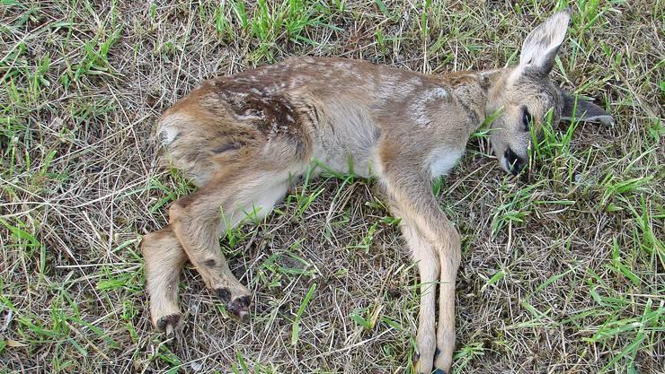 Tiertragödie: Dieses Rehkitz musste sterben, weil ein Landwirt 50 Rappen sparen wollte. (Arthur Dietiker)