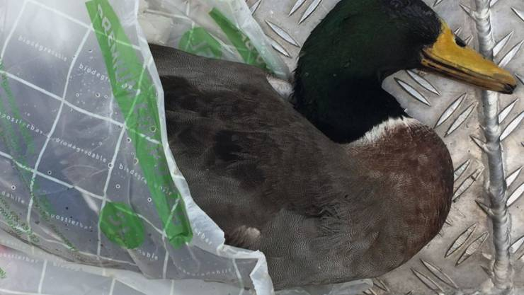Dieser Stockenten-Erpel wurde am Freitag in Birsfelden BL auf dem Rhein tot gefunden- er ist mit dem H5N8-Virus infiziert.
