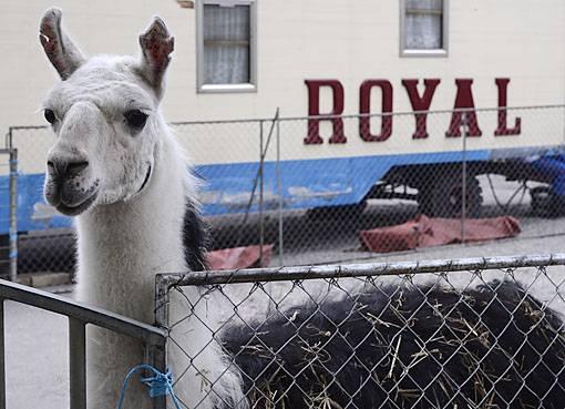 Auf der Rosentalanlage geniessen die Tiere des Circus Royal ihre freie Zeit in ihren Gehegen. Lamas...