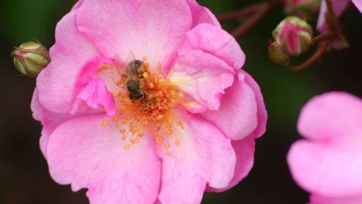 Wilde Rosen bieten Insekten einen unversperrten Zugang zu schmackhaften Nahrung.