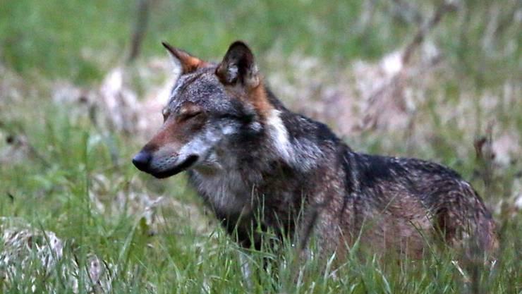 Am Montag hat ein Wolf in Oberuzwil SG ein Schaf gerissen. Ob das gleiche Tier in der Nacht auf Dienstag zwei weitere Schafe in der Ausserrhoder Gemeinde Lutzenberg getötet hat, wird nun noch abgeklärt. (Symbolbild)