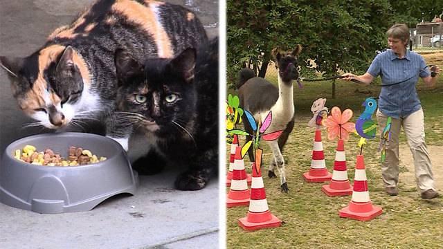 Erste Hilfe für Katzen —Lamas auf dem Hindernisparcours