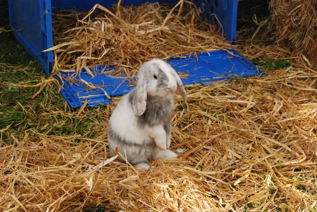Ein neugieriger Kleinwidder vom Kaninchenzüchter Hans-Rudolf Dubach