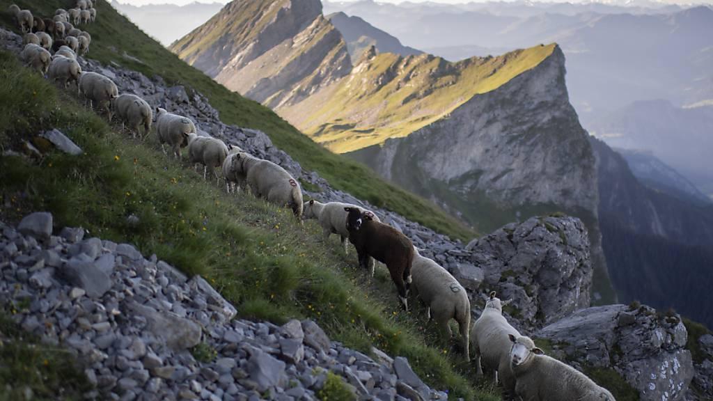 Atemberaubende Aussicht hoch über dem Bündner Rheintal: 1300 Schafe wanderten am Freitagmorgen unter dem Gipfel des Falknis (2562 Meter) in Einerkolonne zu einer neuen Weide ins Fläschertal.