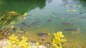 Diese Fische werden bald umgesiedelt. (Archivbild)