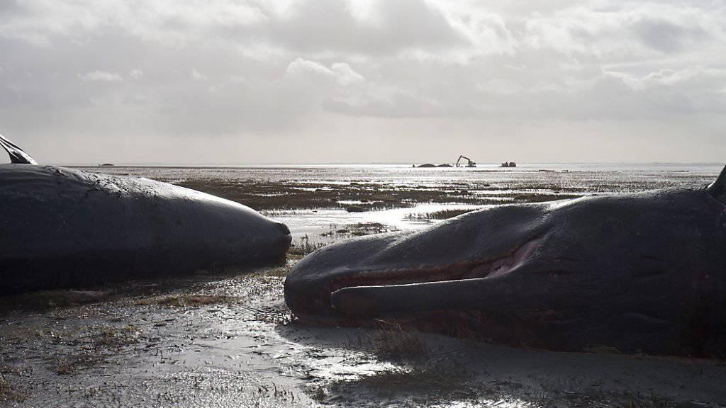 Toter Wal mit sechs Kilo Plastik im Bauch