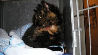Eingewachsenes Halsband, von einem Tierquäler angeschossen und schliesslich überfahren. Das junge Kätzli hatte in seinem kurzen Leben wahrlich kein Glück.