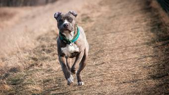Beim Hund des Beschuldigten handelt es sich um einen American Staffordshire Terrier. (Symbolbild)