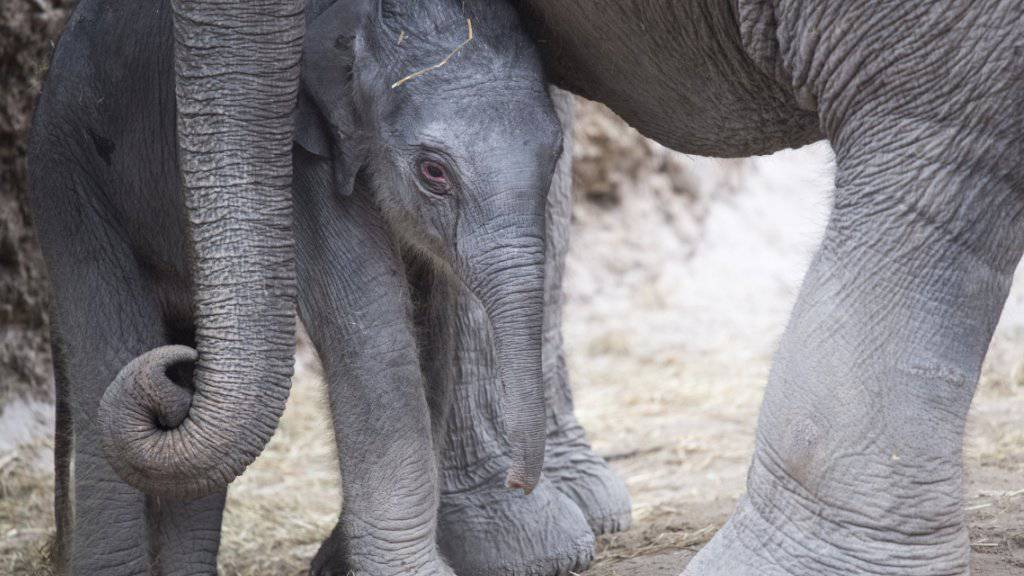 Das kleine Elefantenmädchen Ruwani wird von den Grossen umsorgt.