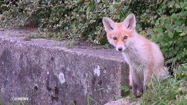 Fuchsfamilie verzaubert Zürich Affoltern