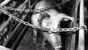Ein schlecht gehaltenes Schwein (Archivbild)