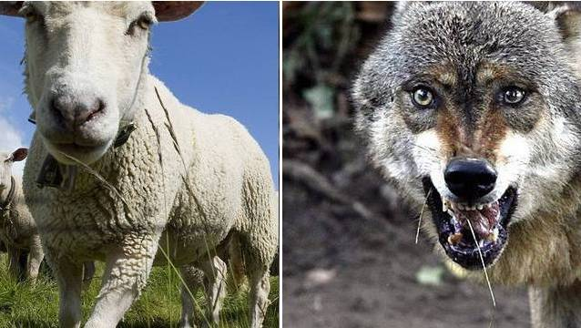 Lorenz Nägelin will kein Schaf und auch kein Wolf sein.