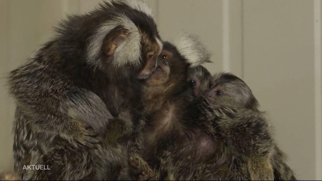 Affen-Drillinge: Diese Namensvorschläge wurden eingereicht