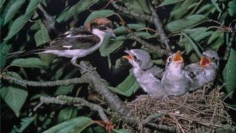 Verschiedene Vogelarten, wie zum Beispiel hier der Rotkopfwürger, sind in der Schweiz nicht mehr aufzufinden.