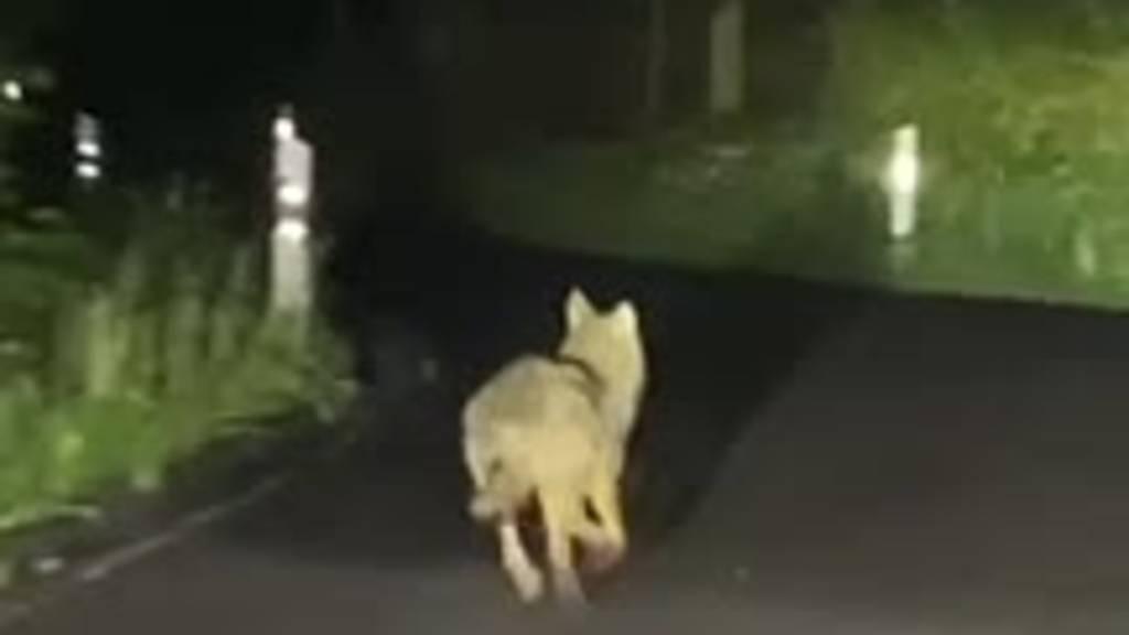 Hier streift ein Wolf durch Kriens
