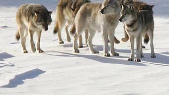 Population des Grauwolfs hat sich erholt