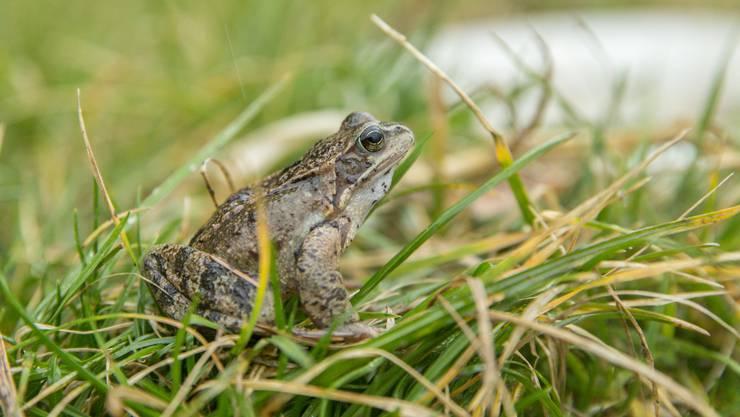 Die Frösche, Kröten und Molche spüren den verfrühten Frühling – was unter Umständen fatal enden kann.
