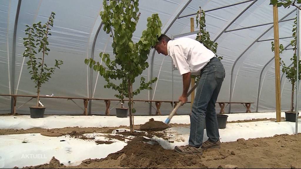 Behördenfehler verhindert Aprikosenanbau im Seetal