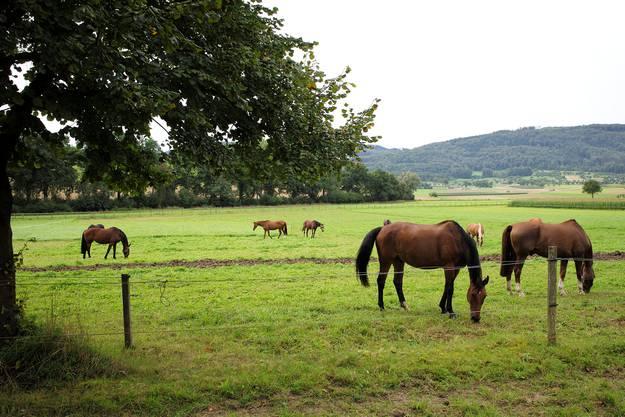 Pferde auf der Weide.