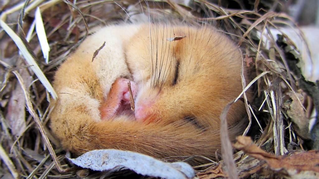 Siebenschläfer halten einen langen Winterschlaf. Um harte Zeiten zu überleben, besitzen die Tiere diese Fähigkeit wahrscheinlich bereits seit 34 Millionen Jahren. (Pressebild)