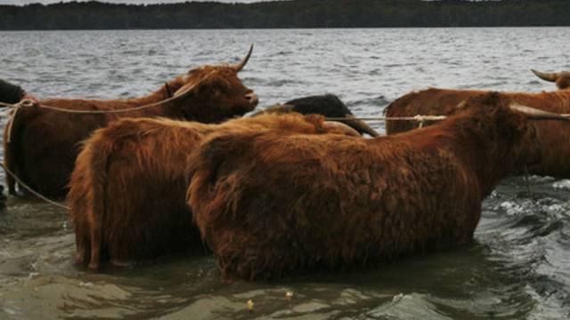 Schottische Hochlandrinder nehmen ein Bad im Bodensee (Symbolbild)