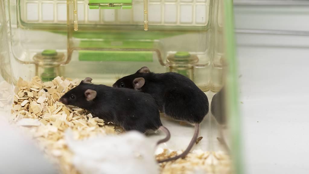 Der Ständerat will die Zahl der Tierversuche schrittweise vermindern. Ein radikales Verbot - wie es eine Volksinitiative fordert - lehnt er aber oppositionslos ab. (Themenbild)